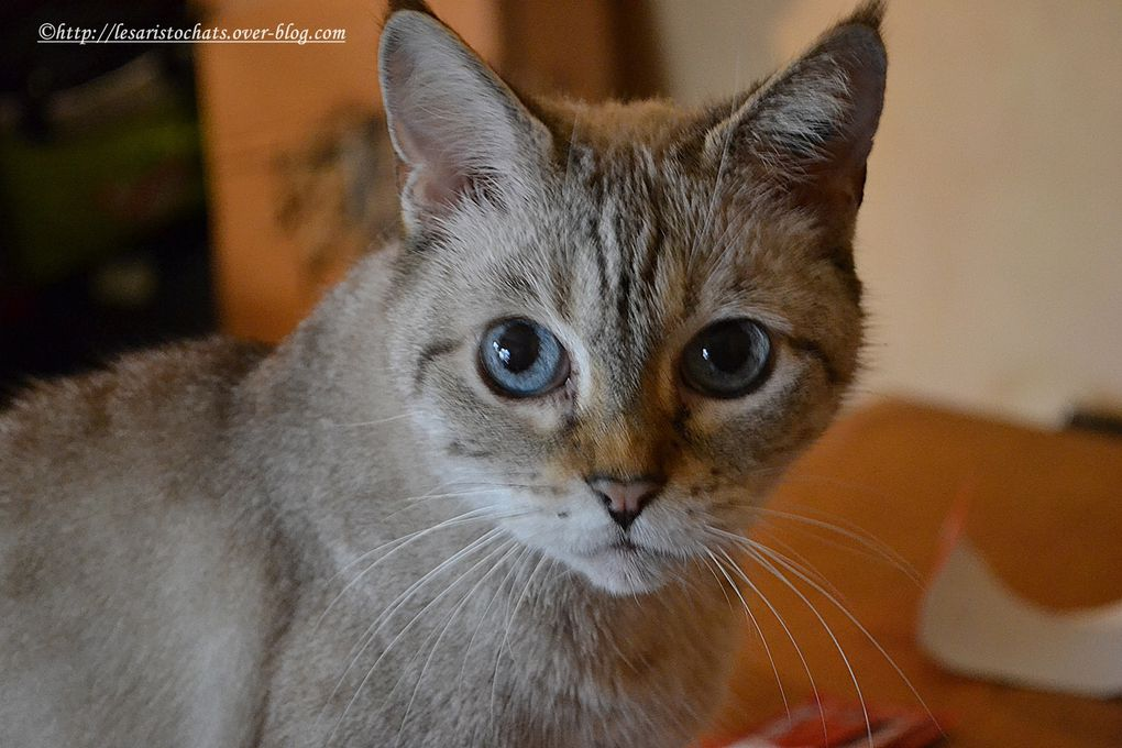 Maroussia, Siamois Traditionnel tabby Point