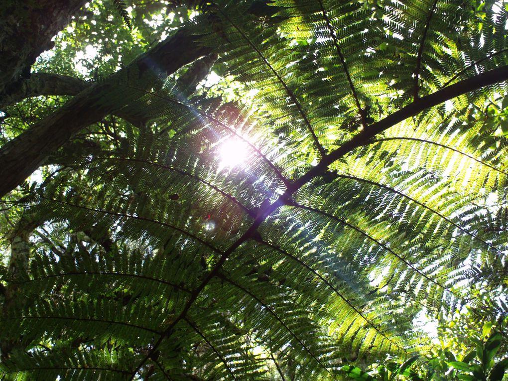 Promenons -nous dans les bois ! Notre dame de la paix, forêt endémique de la Réunion