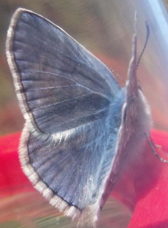 Album - Papillons des Hautes Garennes