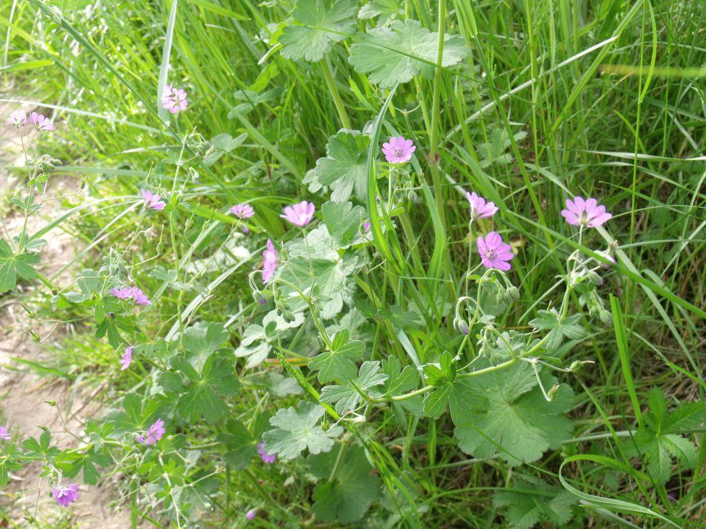 Entre Avril et mai les fleurs se succèdent....