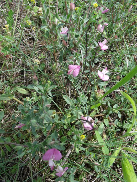 FLore en  Juin  de la zone naturelle des Hautes Garennes ,un échantillon exeptionel de la flore de la région parisienne à la portée de tous , à protéger,à valoriser.