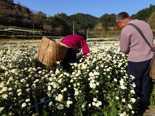 La Ju hua est un chrystanthème cultivé pour faire des infusions appelée chrysanthèmes-thé. Dans l'Anhui en Chine, cette production est importante et fortement consommée. Souvent elle est associé au thé vert Mao feng.