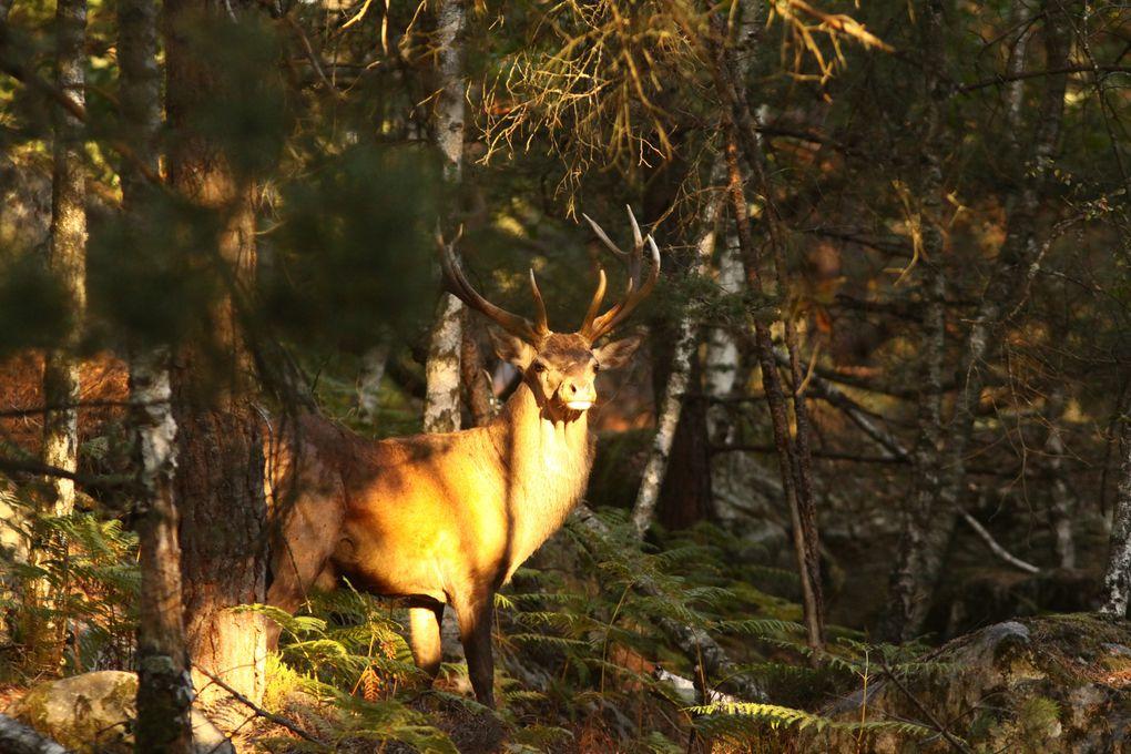 Quelques rencontres des princes et princesses de nos forêts. Je ne dirais jamais assez qu'il faut les protéger absolument car leurs effectifs baissent de façon alarmante.Certains cerfs de cette galerie ne sont pas bellifontains, attention!!