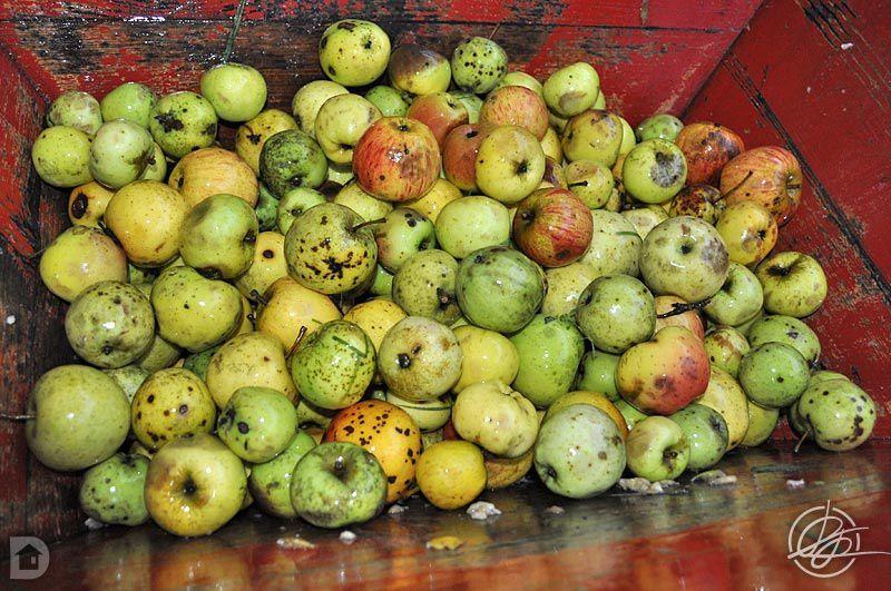 Récolte pressage et mise en bouteilles du jus de pommes 2013