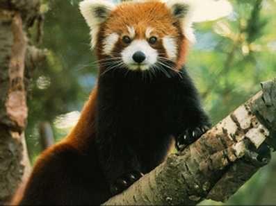 voila des photo du panda roux!! il est pas mignon quand même??
