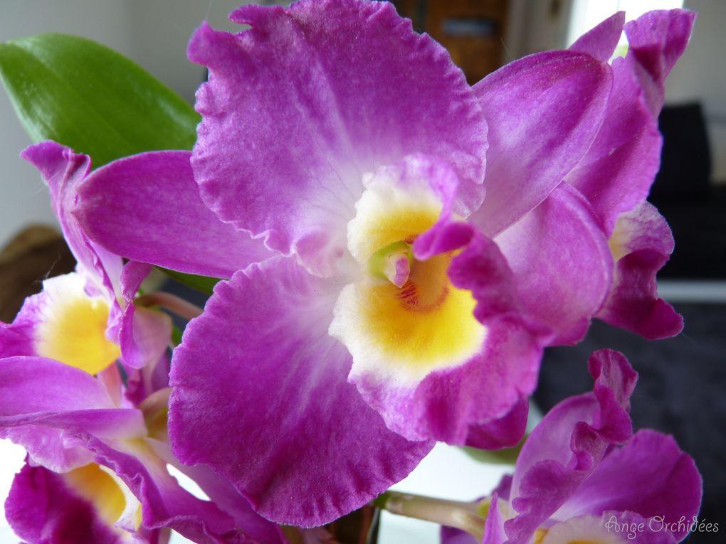 Album - Dendrobium nobile violet - Floraison Mai 2012