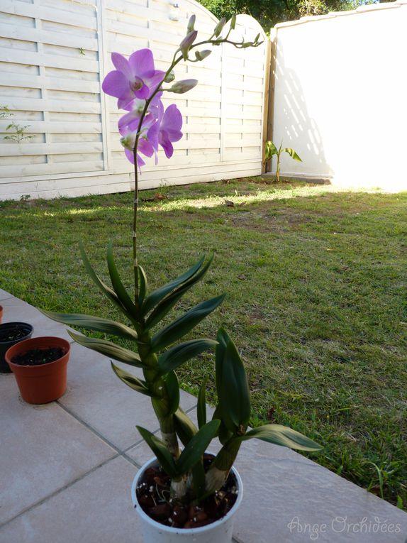 Retrouvez les floraison 2012 de mes 2 Dendrobium nobiles et Phalaenopsis.