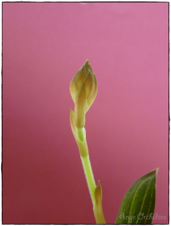 Album - Ludisia discolor red velvet - Floraison janvier 2013