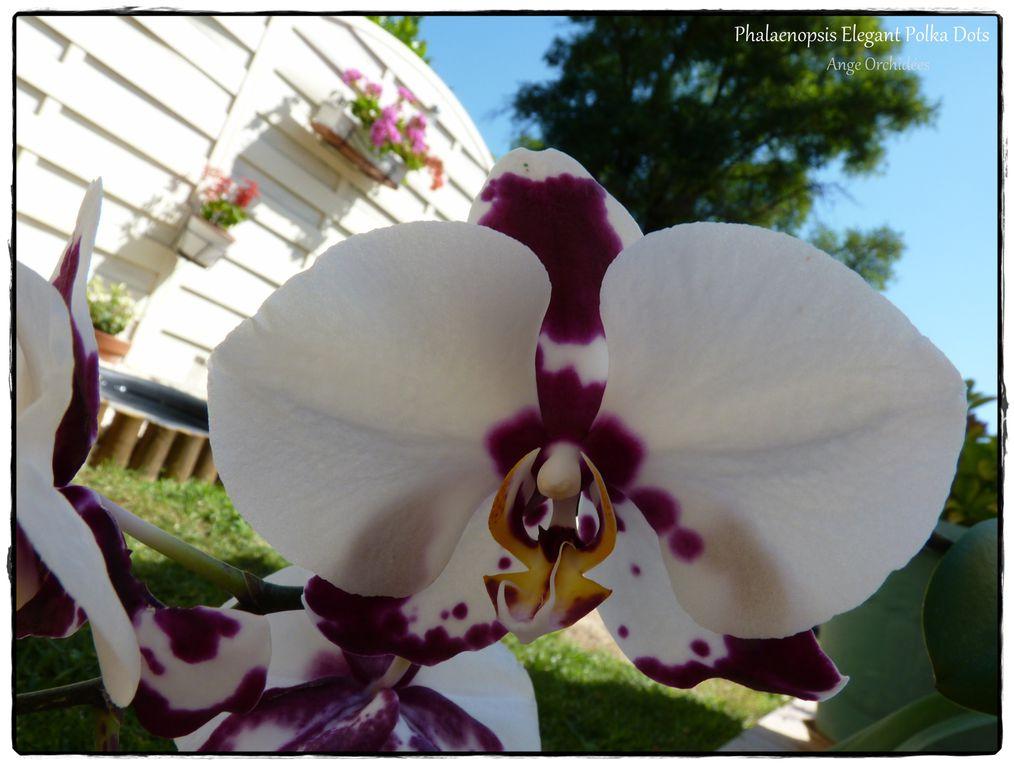 Floraison de mes Phalaenopsis hybrides 2012.