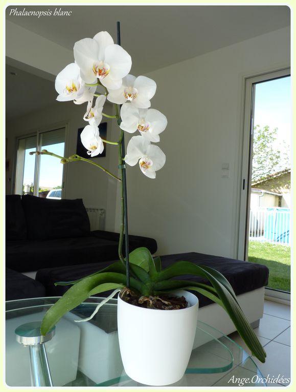 Album - Phalaenopsis blanc - Floraison Mai à Juillet 2012