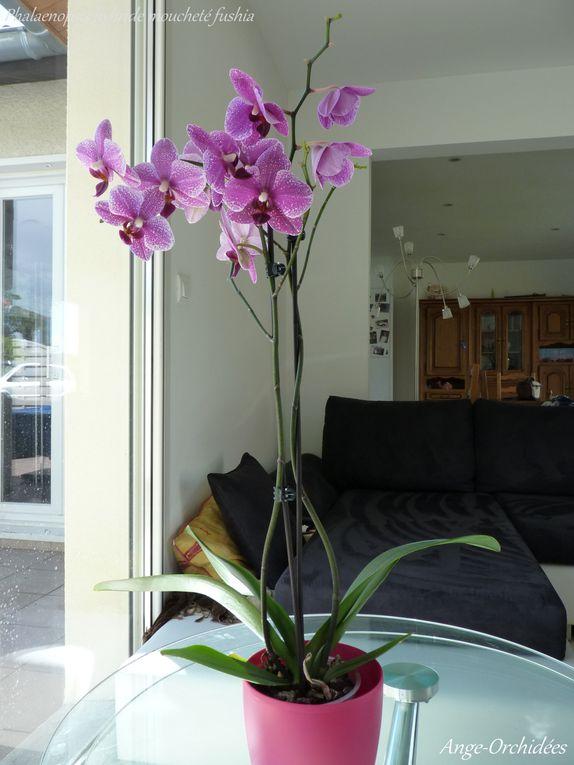 Album - Phalaenopsis Little Spotty - Flo Fév à Juin 2012