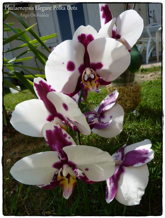 Album - Phalaenopsis Elegant Polka Dots - Flo Juil à Oct 2012