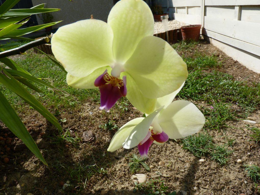 Floraison de mon Phalaeopsis hybride jaune-fushia qui a fleuri non stop de Mai à Septembre. Peu de fleurs juste 2 ou 3.