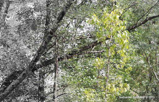Sur les berges du bras mort de l'Ardèche, en milieu humide, une vigne monte dans les branches des arbres...