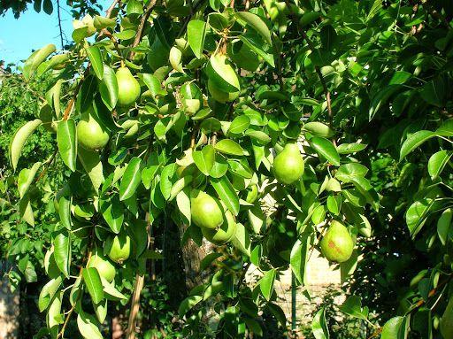 C' est l'année soi-disant des fruits a noyaux,(cerises,pêches,abricôts,et prunes)par opposition aux ...