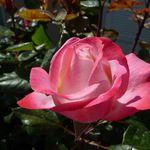 Les roses du jardins