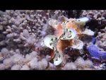 Sourire nacré: Tridacna squamosa, petit Bénitier géant