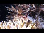Jorunna rubescens-des Nudibranches qui ont du chien...