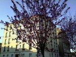 Les cerisiers de l'Avenue Carnot