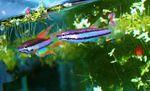 "Fiche, poissons: Chromaphyosémion Bivittatum ""biafra"""