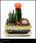 Pot vert et ses cactus