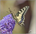 Papillon Machaon !!!