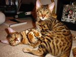 Une chatte Bengal parle à son petit chaton/Bengal cat talking to her kitten (video)