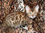 Un chaton Bengal très bavard!/Bengals love to talk (video)