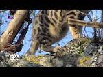 Le chat bengal par 30 millions d'amis (vidéo)