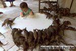 Topi, venerati nel tempio di Karni Mata, in India