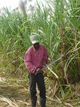 La menace de l'invasion de la canne à sucre GM