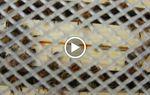 Transvasement d'essaims à La Corderie de Marcq-en Baroeul
