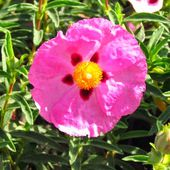 Rock rose inhibits Lyme bacteria (dermal filament formation), treats upper respiratory tract...