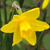 Narcissus 'Sweetness'
