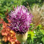 Le Jardin de la Salamandre: Allium 'Early Emperor'