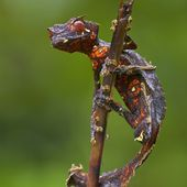 cool-critters: Satanic Leaf Tailed Geck...