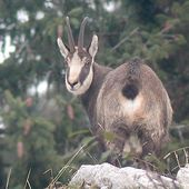 Le Chamois de Chartreuse (Rupicapra rupicapra cartusiana). Biologie et photos de l'animal, description, répartition
