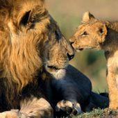 Avant que le monde n'oublie Cecil le lion...