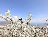 Hand Pollination in China - Images | The Bee Photographer