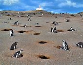 Penguin Colony at Penguin Reserve on Magdalena Island, Chile | Encircle Photos
