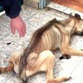 Les bourreaux de cet animal l'ont affamé pendant 10 mois. Il ne s'attendait pas à un tel dévouement de la part d'un homme.