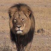 Justice pour Cecil, le célèbre lion massacré par un chasseur de trophées au Zimbabwe !