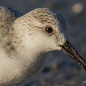 Bécasseau sanderling - Calidris alba - Sanderling