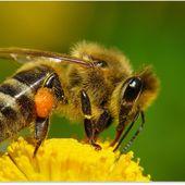 Que ferons-nous quand elles ne seront plus là ? Les abeilles -- Sott.net