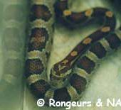 Informations sur les serpents : Ahaetulla nasuta, Elaphe guttata, Python molurus bivittatus
