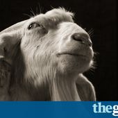 Gorgeous goats - in pictures