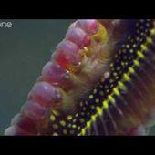 Life - Weedy seadragons dance into the night - BBC One