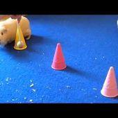 Neue Meerschweinchen Tricks