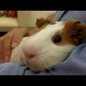 Henry the Guinea Pig Loves Cuddling and Getting Massages!