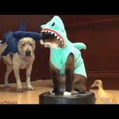 A Cat wearing a Shark costume, riding a robot vacuum and chasing a Duck